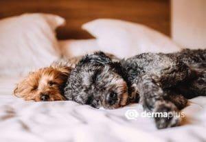 Insbesondere Tiere, die im Bett schlafen dürfen, können Überträger für Milben sein.
