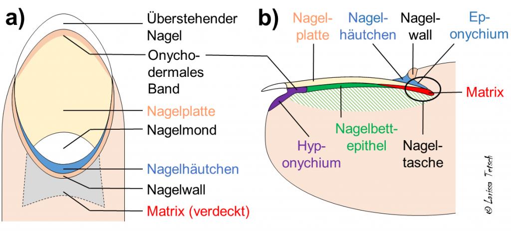 Nagelpflege Anatomie des Nagels Nägel Nagelpflege