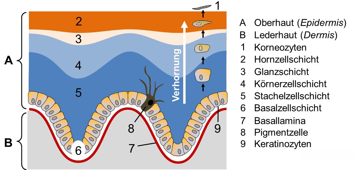 Hautmodell Hautaufbau