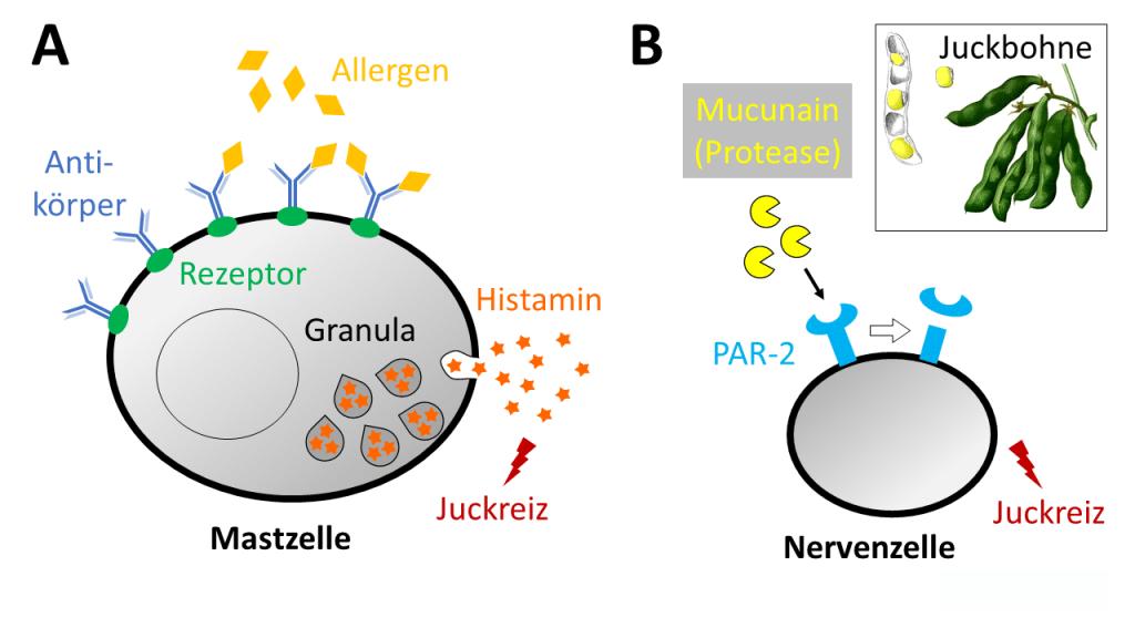 histamin-unabhängiger Juckreiz Policocanol neurodermitis atopisches ekzem