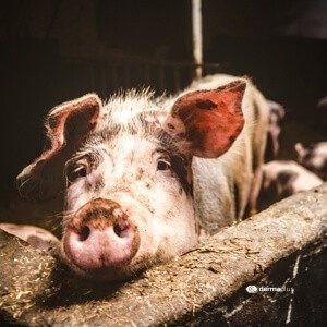 Erysipelothrix rhusiopathiae schweinerotlauf