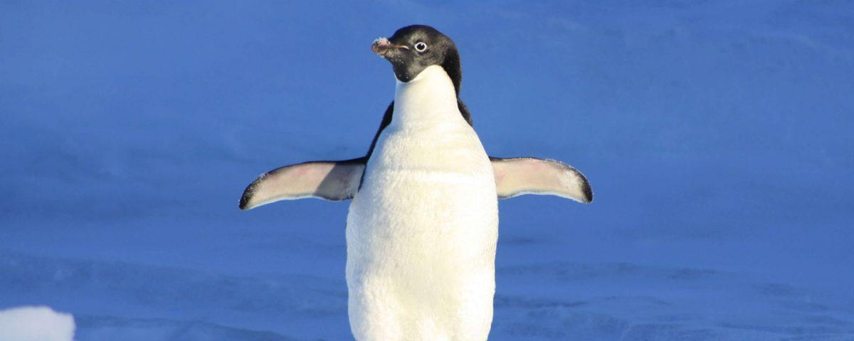 Warum Pinguine keine kalten Füße bekommen