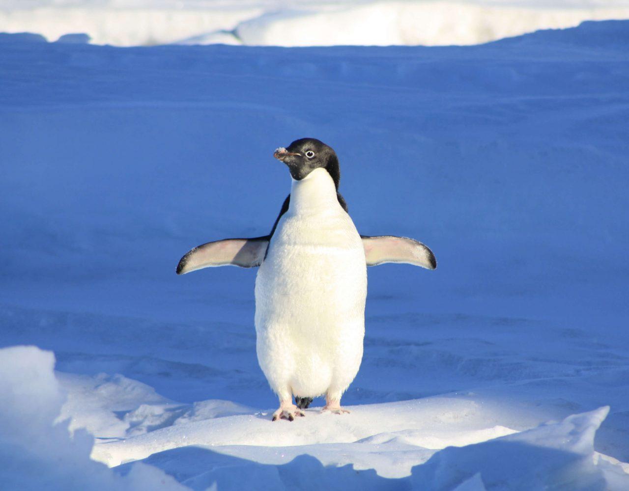 Warum Pinguine keine kalten Füße bekommen erfrierung frostbeule