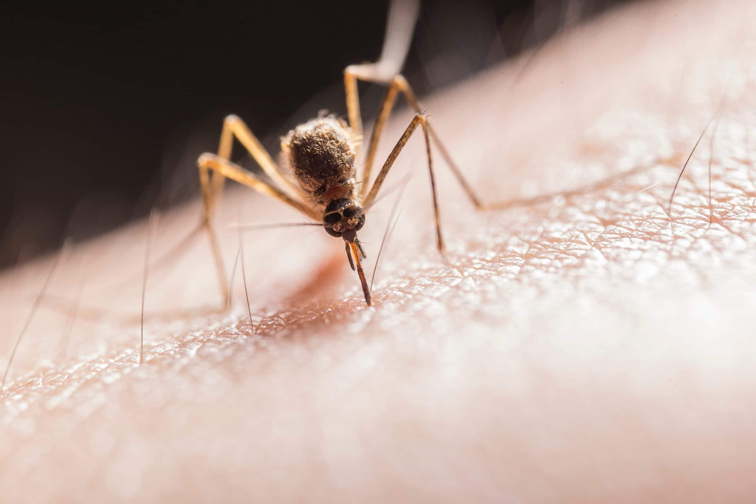 Insektenstich Stechmücke